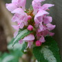 Lamium for TTs Blog. (Lamium maculatum)