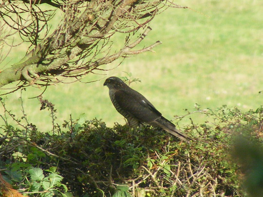 Sparrowhawk (watch out)