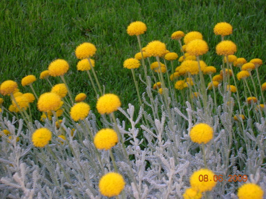 Details edge lawn of Santolina (Santolina chamaecyparissus (Cotton lavender))