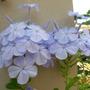 Plumbago (Plumbago auriculata (Cape leadwort))