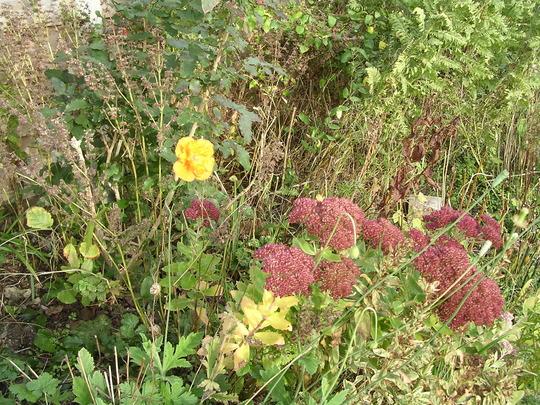 A November Poppy