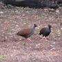 Orange footed scrub fowl (Orange footed scrubfowl)