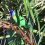 Rainbow Lorikeet (Rainbow Lorikeet)