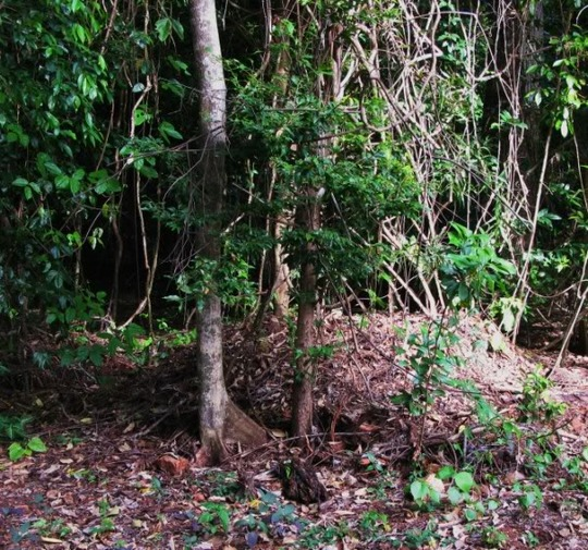 Native turkey mound in progress (Australian brush turkey mound)