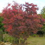 "COTINUS COGGYGRIA ""ROYAL PURPLE"" (Smokebush) (Cotinus Coggygria ""Royal Purple"")"