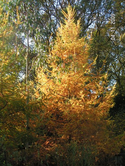 Larix decidua autumn colour (Larix decidua (Aris))