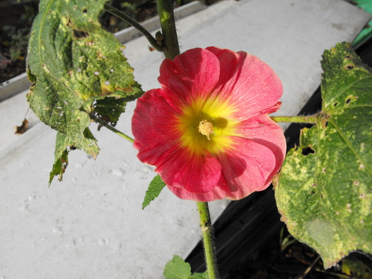 This Hollyhock has opened.......5th November