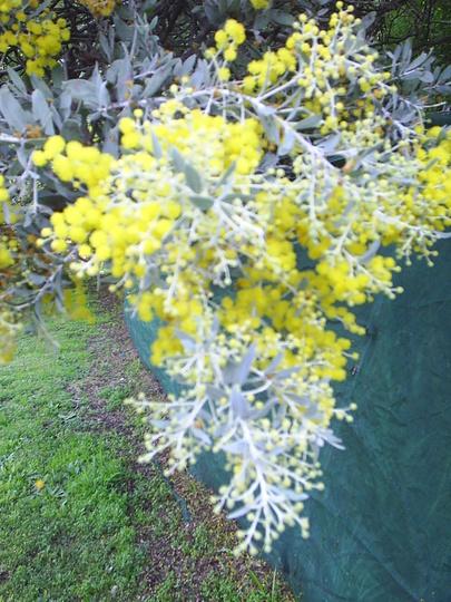 The Plant Files #1 - Acacia decora (Acacia decora)