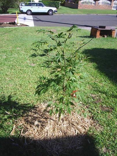 """The Plant Files #2 - Acer palmatum (Acer palmatum """"Elegans"""")"""