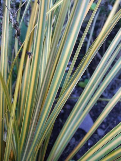 Libertia peregrinans 'Goldfinger' (Libertia peregrinans (New Zealand Iris))
