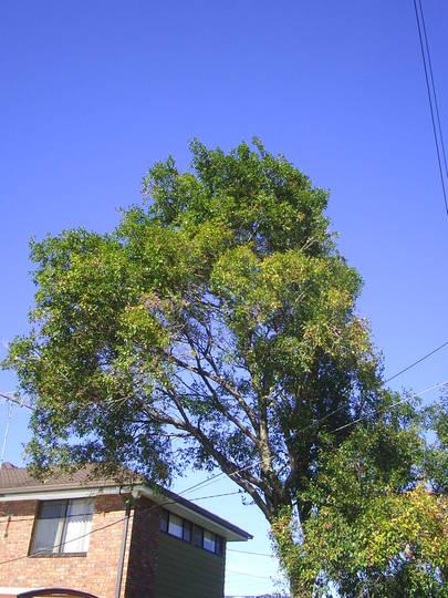 The Plant Files #3 - Acmena smithii (Acmena smithii)
