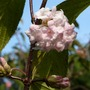 Viburnum Bodnantense Dawn (Viburnum Bodnantense Dawn)
