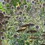 Dried seedheads