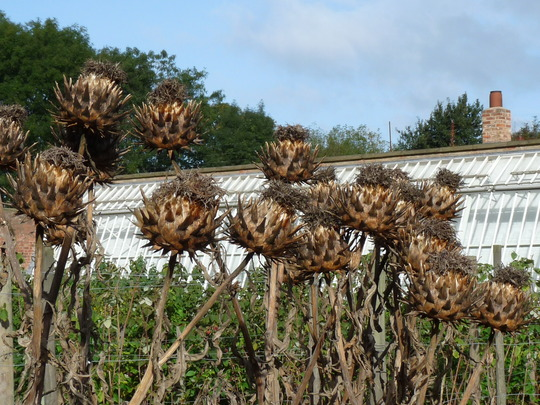 Globe Artichokes drying in the cool air. (Cynara cardunculus (Globe Artichoke))