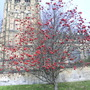 Lovely tree in my town carpark with church in the background