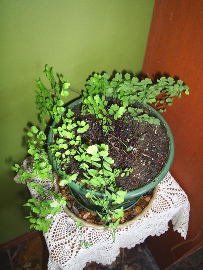 The Plant Files #4 - Adiantum raddianum (Adiantum raddianum)