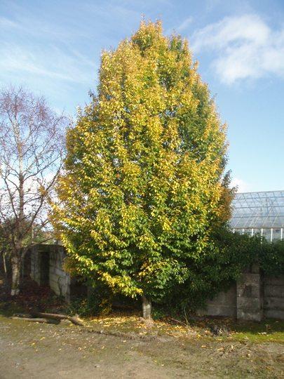 Hornbeam (Carpinus betulus 'Fastigiatus')