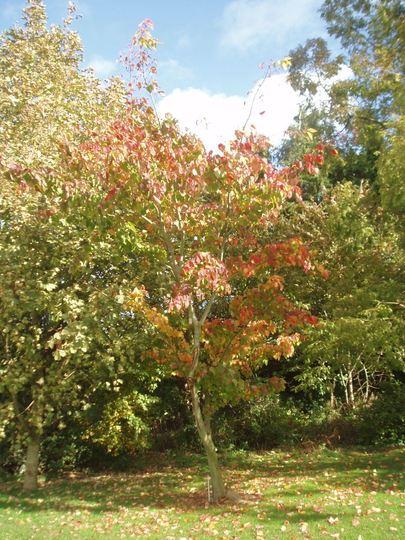 Acer pennsylvanicum (Acer pennsylvanicum)
