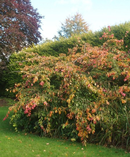 Parrotia persica (Parrotia persica (Persian ironwood))
