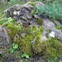 One of our garden's stone (Bryophyta)