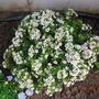 white flowers on display (Chamelaucium uncinatum (Geraldton Wax))