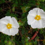 white flowers on display (Cistus salviifolius (Salvia Cistus))