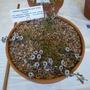 Adesmia microphylla F_W10722.