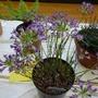 Allium bolandieri