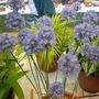Allium caesium Zaamin