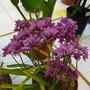 Allium oreophyllum