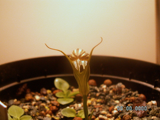 Pterostylis truncata (pterostylis truncata)
