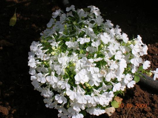 white flowers in display (Lobelia erinus)