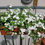 white flowers in display (bacopa sutera)