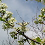 Flowering plum tree (Papilio machaon)