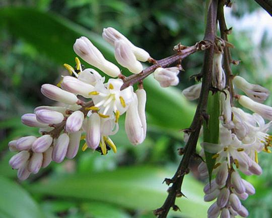 For Delonix:  Cordyline cannifolia - Palm lily flowers (Cordyline cannifolia)