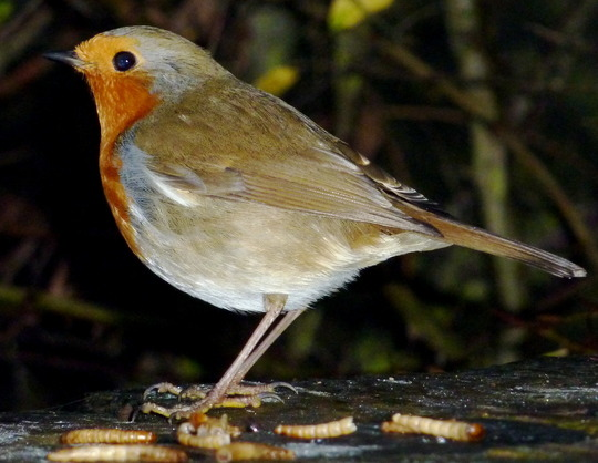 My Robin Is Back :-)