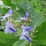 butterfly bush (Clerodendrum ugandense (Blue glory bower))