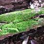 Lichen growth (Rainforest lichen)
