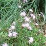 Centaurea_simplicaulis_2009