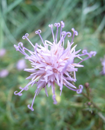 Centaurea simplicaulis (close-up) - 2009 (Centaurea simplicicaulis)
