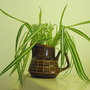 Baby Spider Plants From Holly