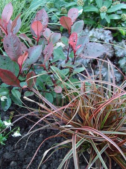 Uncinia planted. (Uncinia rubra)