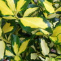 Euonymus japonicus 'Maidens Gold' (Euonymus japonicus)