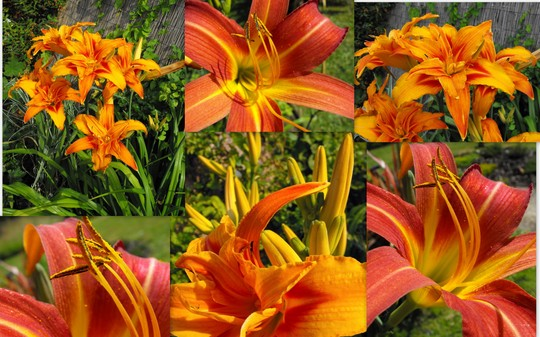 Some Day Lillies