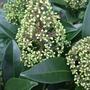 Skimmia x confusa 'Kew Green' (Skimmia x confusa (Skimmia))