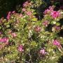 Bauhinia x blakeana - Hong Kong Orchid Tree (Bauhinia x blakeana - Hong Kong Orchid Tree)