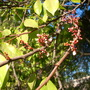 Averrhoa carambola - Star Fruit Tree Flowers (Averrhoa carambola - Star Fruit Tree)