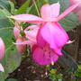 Fuchsia_garden_news_1
