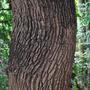Oak Tree (Quercus)