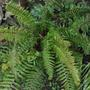 Fern (Dryopteris filix-mas (Male fern))